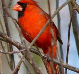Free Photo - Red Cardinal