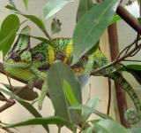 Free Photo - Chameleon on the Tree