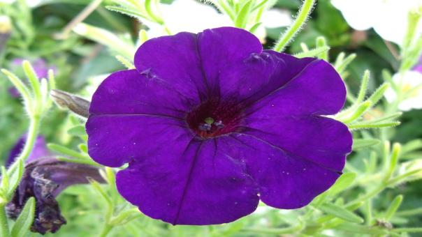 Fresh Petunia - Free Stock Photo