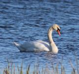Free Photo - Swan in the Lake