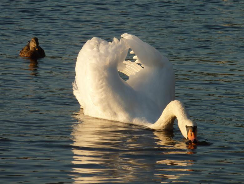 Free Stock Photo of Swan in the Lake Created by Pixabay