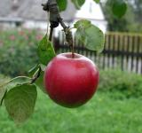 Free Photo - Red Apple