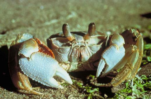 White Crab - Free Stock Photo