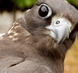 Free Photo - Falcon Upclose