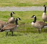 Free Photo - Group of Geese