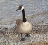 Free Photo - Goose on the Shore