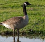 Free Photo - Goose in the Water