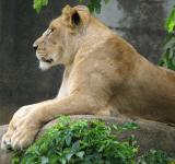 Free Photo - Lion in the Zoo