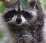 Free Photo - Raccoon on the Tree