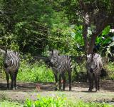 Free Photo - Herd of Zebra