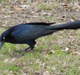 Free Photo - Black Bird on the Grass