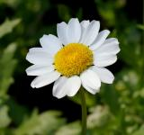 Free Photo - Fresh Daisy
