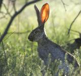 Free Photo - Jackrabbit
