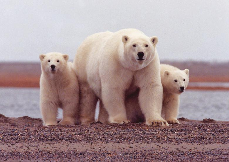 Polar Bear Pictures Free