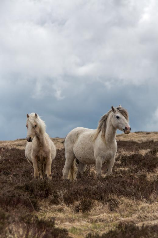 Free Stock Photo of Pregnant Welsh Wild Mountain Ponies Created by Geoffrey Whiteway