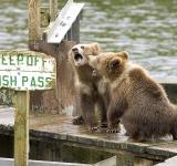Free Photo - Grizzly Bears