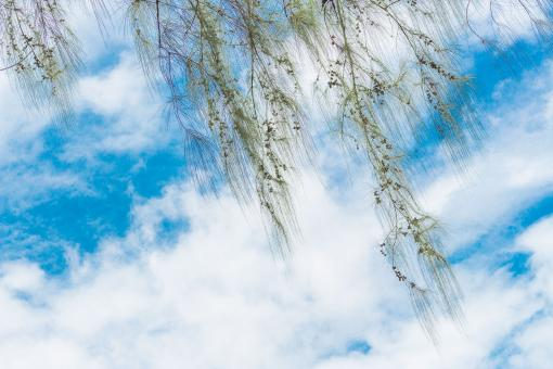 Green pine tree branch with blue sky - Free Stock Photo