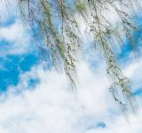 Free Photo - Green pine tree branch with blue sky