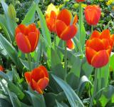 Free Photo - Tulips in the Garden