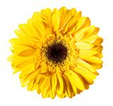 Free Photo - Yellow Gerbera Flower