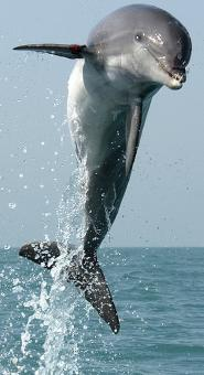 Dolphin Dive - Free Stock Photo