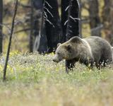 Free Photo - Wild Grizzly