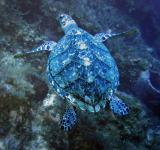 Free Photo - Turtle in the Ocean