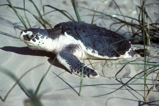Turtle in the Sand - Free Stock Photo