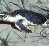 Free Photo - Turtle in the Sand
