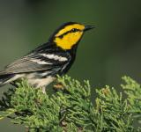 Free Photo - Warbler on the Tree