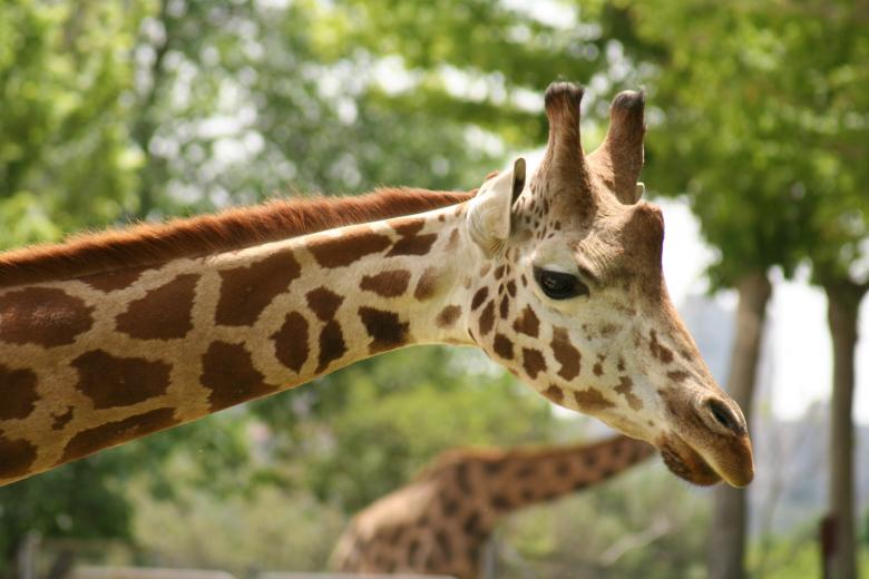 Free Stock Photo of Giraffe Up close Created by Pixabay