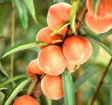 Free Photo - Fresh Peaches on the Tree