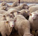 Free Photo - Herd of Sheep