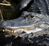 Free Photo - Alligator Closeup