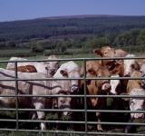 Free Photo - Cattle Farm
