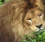 Free Photo - Lion Closeup