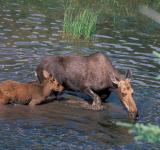 Free Photo - Moose in the River