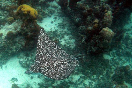 Sting Ray - Free Stock Photo