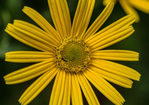 Yellow flower in Bloom - Free Stock Photo