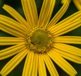 Free Photo - Yellow flower in Bloom