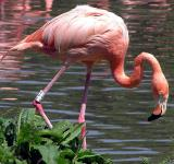 Free Photo - Flamingo Fishing