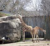 Free Photo - Giraffes in the Zoo