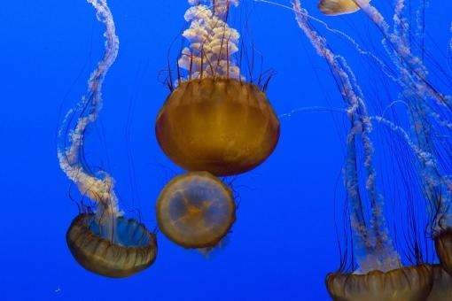 Jellyfish in the Ocean - Free Stock Photo