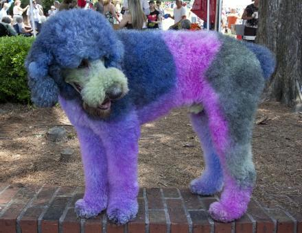 Colored Poodle - Free Stock Photo