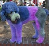 Free Photo - Colored Poodle