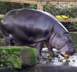 Free Photo - Pygmy Hippo