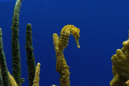 Sea Horse - Free Stock Photo