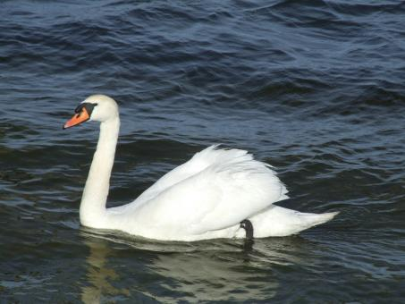 Swan in the Lake - Free Stock Photo