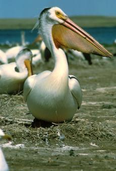 White Pelican - Free Stock Photo