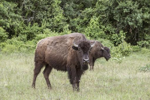 Bison in the Jungle - Free Stock Photo